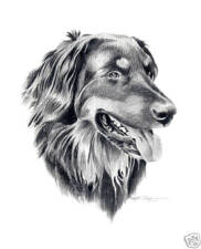 Hovawart Pencil Dog Drawing 8 x 10 Art Print by Artist Djr