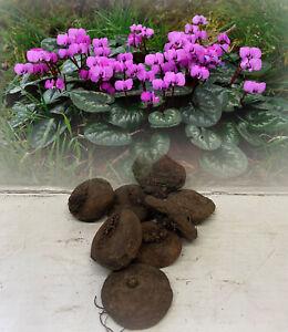 6 CYCLAMEN COUM (PRIMULACEAE) BULBS DARK PINK-PURPLE HARDY FLOWERING PERENNIAL