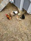 Serama Hatching Eggs 12eggs plus 2 extra