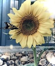 Yellow Mammoth Sunflower Seeds (100 + Pieces)