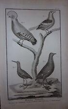 GRAVURE ORIGINALE CUIVRE DE MARTINET 1768 PIGEON VERT D AMBOINE COQ ROCHE BARGE