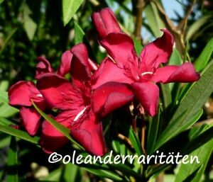 Oleander Pflanze PETITE RED 30-40cm 3l Topf dunkles samtrot
