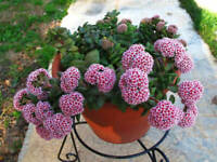 Crassula Springtime  1 double headed rooted cutting not in bloom