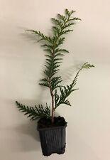 """Thuja Green Giant Arborvitae Live Tree Seedlings - 2"""" Pots - 10-12"""" Evergreen"""