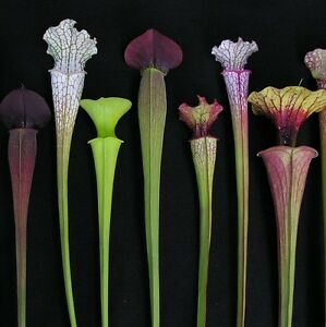 Monster Carnivorous Sarracenia Pitcher Collection from Chelsea Gold Medallist