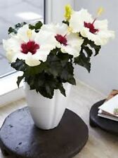 BOREAS WHITE Hibiscus long-lasting large flowers hedging plant in 140mm pot