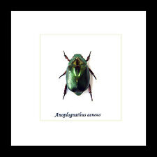 Australian Xmas Christmas Beetle real insect beetle in frame for sale BANAE