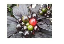 15 Seeds Black Pearl Heirloom Hot Pepper Ornamental & Edible Rare Black Leaves!!
