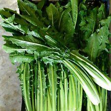 250 Graines de Chicorée Sauvage - légumes ancien salade méthode BIO