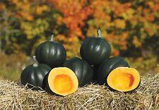 Vegetal - Invierno Aplastar - Oso De Miel F1 - 9 semillas
