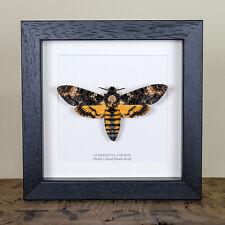 Deaths Head Hawk Moth in Box Frame (Acherontia atropos) Real Framed Moth