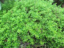Zitronenthymian Pflanze Staude Kräuter Natur-Biogarten