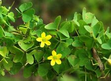 Wood Sorrel - Oxalis Family - Zesty, Lemony Flavor - theseedhouse - 100 Seeds