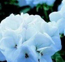 Geranium - Horizon White - 10 Seeds