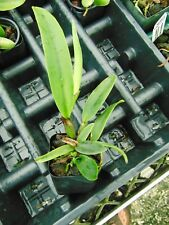 "Cattleya mossiae var. semi-alba 'Blanca' Am/Aos 2"" pot Nice Species"