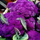 Cauliflower Purple Sicily 100 Seeds (HEIRLOOM)