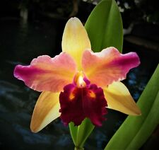 BIN-Blc. Toshie's Magic 'Doris' Blooms 2 times a year! Easy Beginner's Orchid!