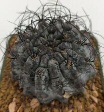 Neoporteria crispa, vaso 5,5CM (ariocarpus,copiapoa,cactus,仙人掌 )