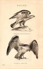 1868 PRINT ~ NATURAL HISTORY ~ FALCON ~ ROUGH LEGGED BUZZARD ~ MARTIAL EAGLE