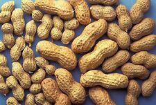 Peanut Seed: Virginia Jumbo Peanut Seeds 15+ Seeds  Fresh Seed  FREE Shipping