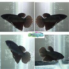 New listing Live Betta Fish - {Copper Comb Tail Betta} Male (A6Ct)