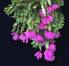 Dendrobium limpidum - EXTREMELY RARE miniature terrarium orchid FREE SHIPPING