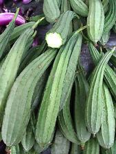 Angled gourd 20++ Seeds, Angled loofah, Ridge gourd, Chinese Okra, Muop Khia