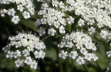 anise, Licorice Plant herb Seeds, white flower, 40 seeds! GroCo Us Usa*
