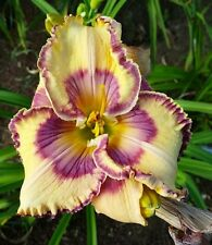 SP BUTTERFLY EFFECT Daylily SEEDS 2017 Perennial Flower Ready to start Growing