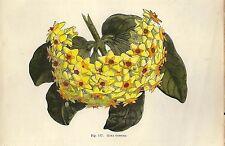 Stampa antica FIORE DI CERA Hoya carnosa botanica 1896 Old antique print