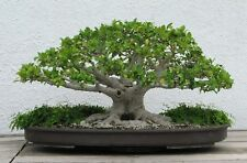 Chinese Banyan (Ficus microcarpa) Tree Seeds -USA- Bonsai 100,200,300