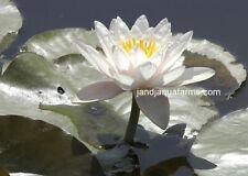 White Water Lily Marliac Albida Aquatic plants koi pond garden J&J Aquafarms