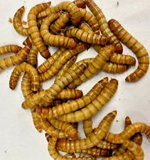 Live Giant Mealworm Bearded Dragon Feeders - Pet Reptile Meal Worm Lizard Food