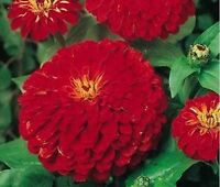 Zinnia- Elegans- Cherry Queen- 100 Seeds