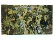 Virginia Bluebell Mertensia Virginica Postcard