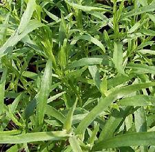 500 Graines non traitées d' ESTRAGON DE RUSSIE Artemisia dracunculus -aromatique