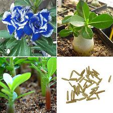 2pcs Beautiful Blue with White Side Desert Rose Flowers Plant Seeds Rosa Bonsai