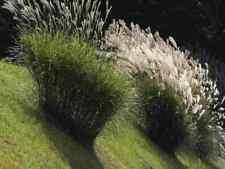 Miscanthus sinensis, Riesen Chinagras, Chinaschilf, Silbergras, 250 Samen