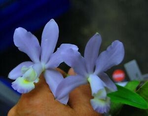Orchidee Cattleya- C.dolosa coerulea BLÜHSTARK  tolle Pflanze Species