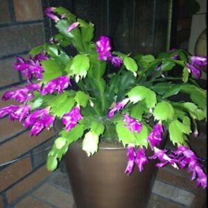 Purple Christmas Cactus well rooted cutting sent bare root, without pot