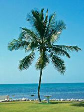 COCONUT (Green) hawaiian plant palm tree Cocos nucifera ready to pot,1 live SEED