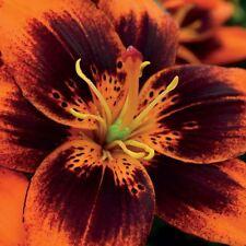 3 Easy Samba Asiatic,Lily,orange flowers with dark brown, Lily Flower Bulbs