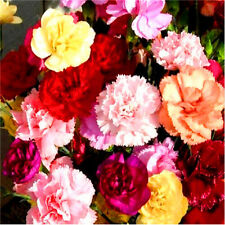 Fd2475 â–¡ Mixed Color Carnation Seed Dianthus Caryophyllus Seeds ~1 Pack 30 Seeds