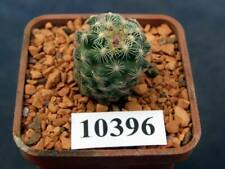Pediocactus simpsonii v minor Sb197/10396,D20 mm,own root
