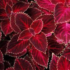 Superfine Red Velvet Coleus Herb 20 Seeds Local Farmer Dark Red Heart White
