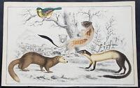 1830 Oliver Goldsmith Antique Print of an Ermine, Hardwicks Weasel, Java Ferret