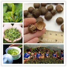 Bonsai Seeds Green Tea Chinese Home Minigarden Perenial Plant Heirloom Perennial