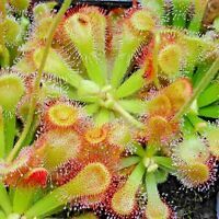 DROSERA  RARE VARIATIONS SEEDS!!!
