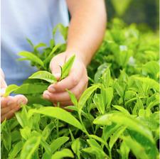 Camellia sinensis. Live Green Tea Plant fresh tea