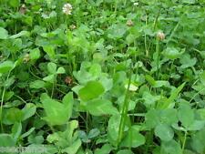Ladino Clover Seeds -10 Lbs.